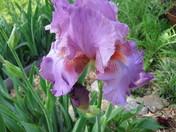 HUGE purple Iris