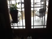 Video of my cats during snow, from Linda Baber at Camden Point, MO