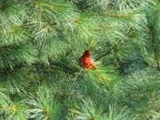 Cardinal in Millis, MA