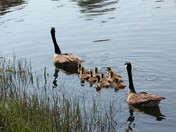 Family of geese on the Saugus River