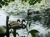 swan/ducks living together