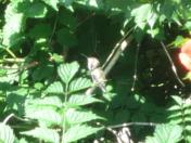 Huming Bird Scratching