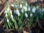 Snow drops are blooming