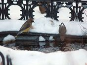 Cedar waxwings drinking