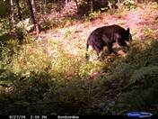 Bear at Camp