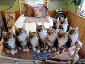 Bunch of Maine Coon Kittens.jpg