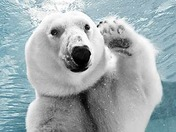 polar-bear-waving-345ds113009.jpg