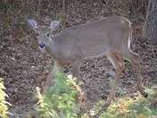 fawn-button buck