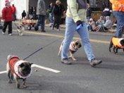 Pug Club ion Middleboro Christmas Parade