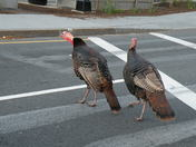 Turkeys using the crosswalk on Beacon Street