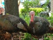 Turkeys In Boston at BIDMC