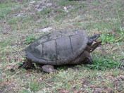2: Snapping Turtle