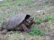 3: Snapping Turtle Closeup