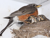 Robin with babies