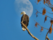 Eagle in front of the moon