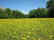 Field of Butterweed