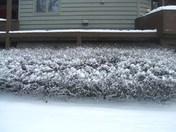 snowbush.JPG