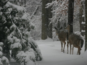 Deer in Clermont County