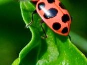 lady bug on basil