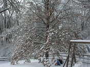 Oak Tree under weight of ice/snow