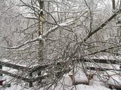 shade maple tree split