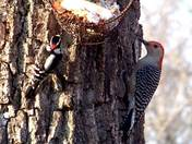 A red bellied woodpecker (right) and a downy woodpecker