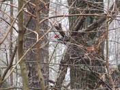 A shy Pileated woodpecker