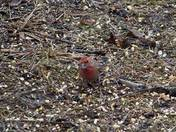 Well camouflaged male house finch