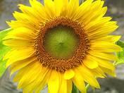 Sunflower season is coming