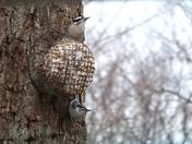 Downy woodpecker (top) and A white-breasted nuthatch (bottom).jpg