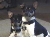 The Rat Terriers {Terrorists}