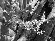 Firebush Black and White