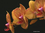 Orchid Society Show