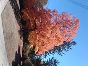 Brilliant Maple in October