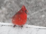 Red Bird 4.JPG