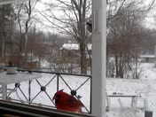 Cardinal eating sunflower seeds