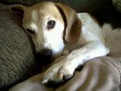 Murphy , our beagle