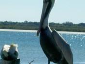 Pelicans 1.jpg