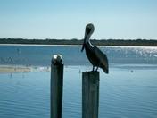 Pelicans 4.jpg