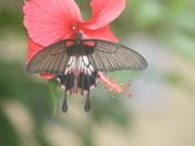 Transparent Swallowtail