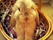 Cherry the Holland Lop Bunny