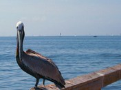 A Florida Brown Pelican