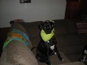 oreo party dog