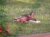 Backyard Ducks Mid April 2012