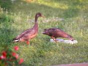 Backyard Ducks Mid April 2012 a