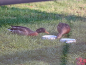 Backyard Ducks Mid April 2012 c