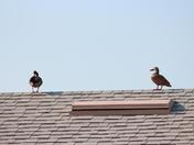 Backyard Ducks Mid April 2012 d
