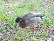 Backyard Ducks Mid April 2012 e
