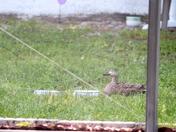 Backyard Ducks Mid April 2012 f