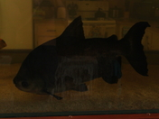 My 3 Red Belly Pacu 5-5-12 over 7 years old 1